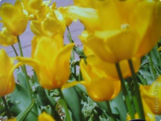 Вот такие жёлтые тюльпаны, которые покорили нас красотой и изяществом. фото 2