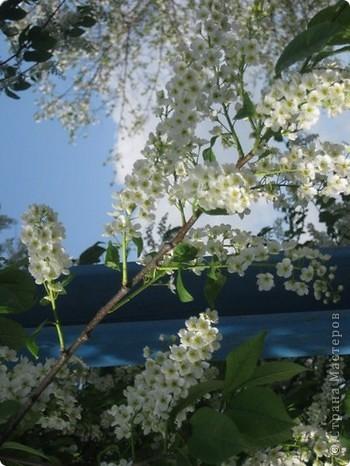 Мне очень нравится тот период весны, когда расцветает черемуха. фото 2