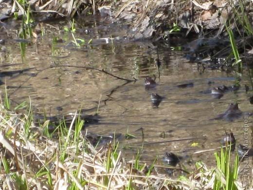 Слышали ли вы как поют  весной лягушки?вот одна из них! фото 4