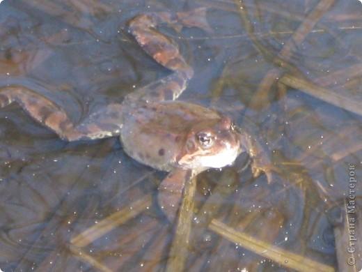 Слышали ли вы как поют  весной лягушки?вот одна из них! фото 2