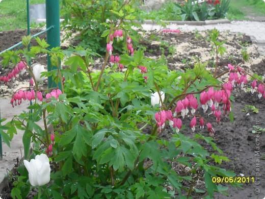 Дицентра-растение очень изящное и красивое фото 2