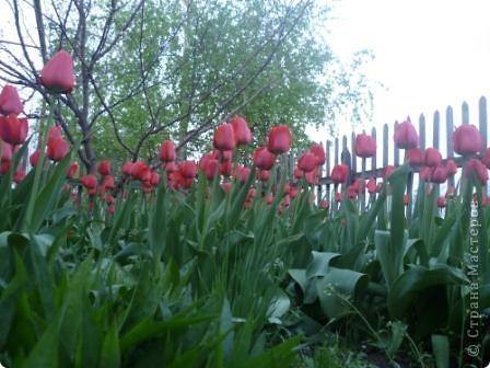 Чудо - тюльпан. фото 3