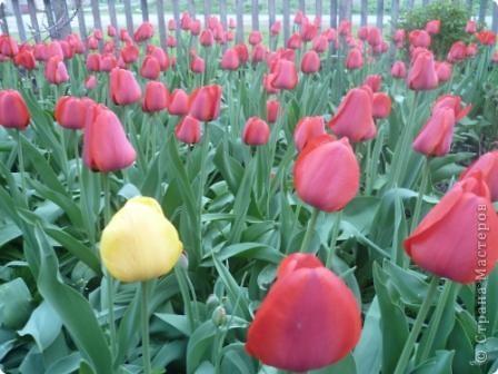 Чудо - тюльпан. фото 4