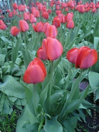 Этот тюльпан я изготовила для дружной Страны Мастеров. Желаю всем счастья. фото 3