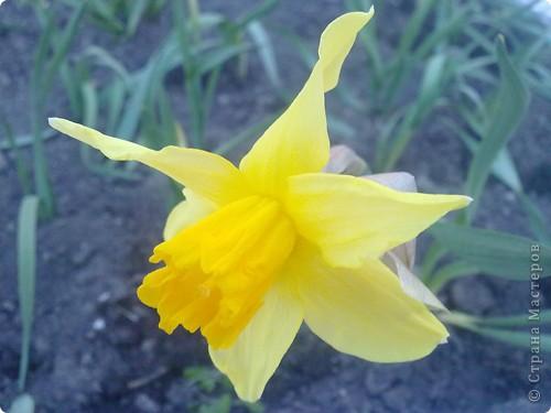 Золотинкой в серебре Песнь нарцисса в хрустале. Свежая-пресвежая, нежная-пренежная. Над цветком наклонишься, Нежностью наполнишься.  фото 6