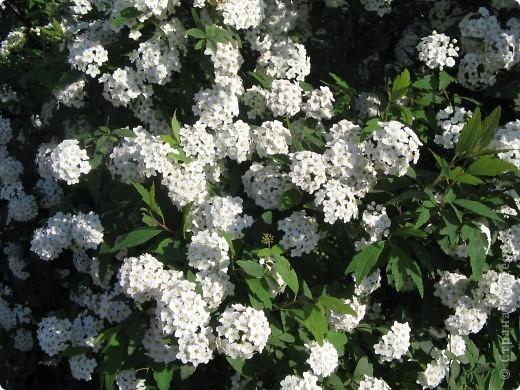 А у нас распустились цветы белее снега. фото 3