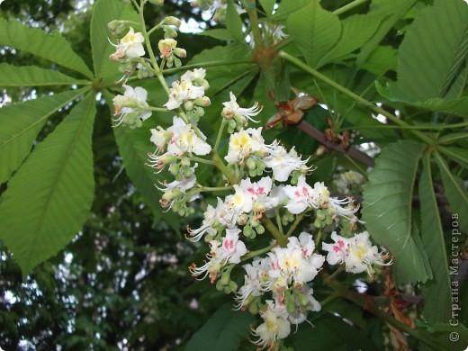 На этой картине я разместил цветок каштана - удивительного дерева, которое очень красиво  цветет весной. фото 4