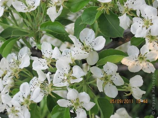 Деревья в цвету фото 3