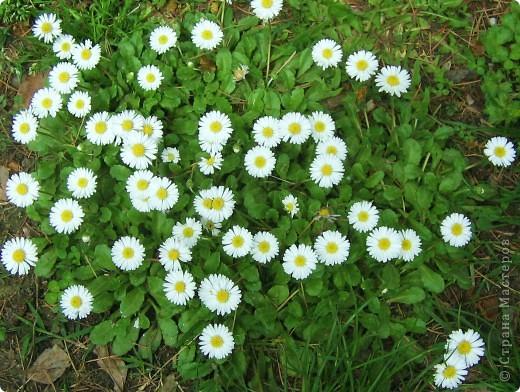 А у нас распустились цветы белее снега. фото 2