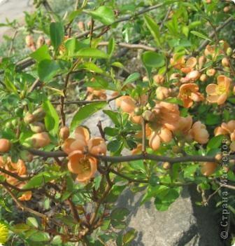 Цветущий кустарник весной. Японская айва. фото 4