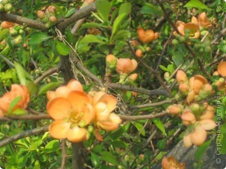 Цветущий кустарник весной. Японская айва. фото 5