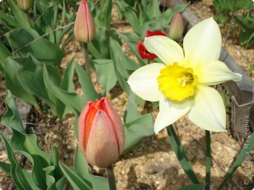 Нарцисс  для любимой бабули фото 2