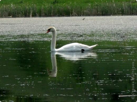 Лебеди фото 3