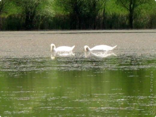 Лебеди фото 5