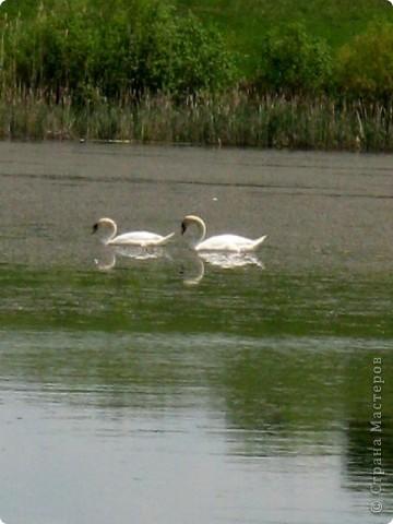 Лебеди фото 6