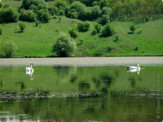 Лебеди фото 7