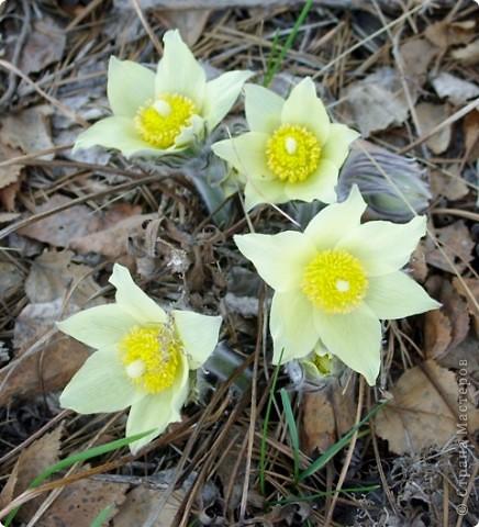 Эти солнечные весенние цветы расцвели у нас в тени соснового бора.  Они называются сон-трава или прострел. фото 4