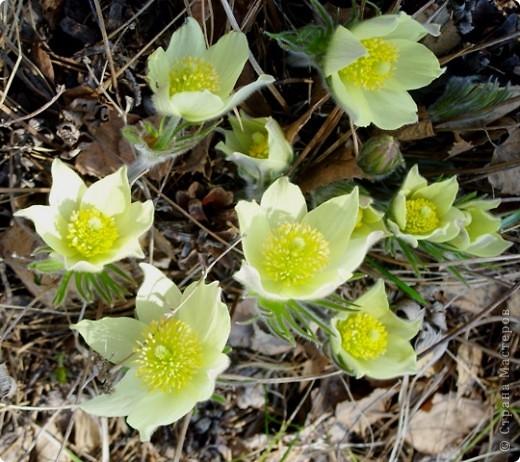 Эти солнечные весенние цветы расцвели у нас в тени соснового бора.  Они называются сон-трава или прострел. фото 5