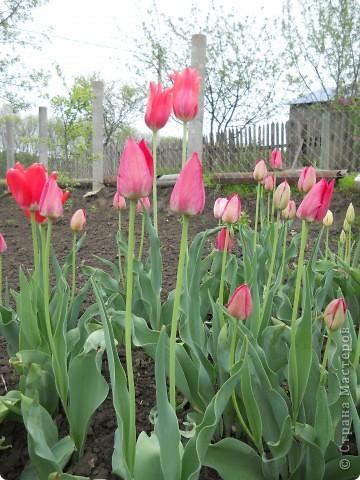 Весной распускаются  тюльпаны! фото 2