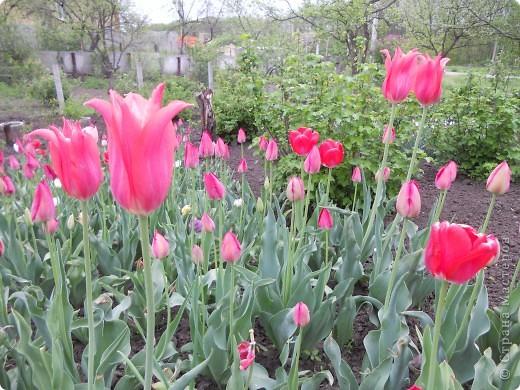 Весной распускаются  тюльпаны! фото 3