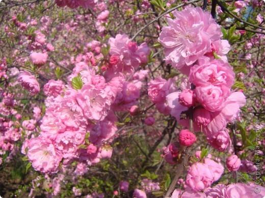 Наконец то и в наш город пришла весна, распускаются первые цветочки, на березе появились листочки. фото 2