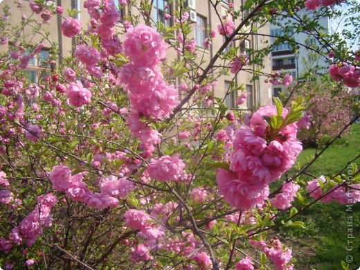 Наконец то и в наш город пришла весна, распускаются первые цветочки, на березе появились листочки. фото 3