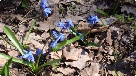 Пролески - это голубые подснежники. фото 4