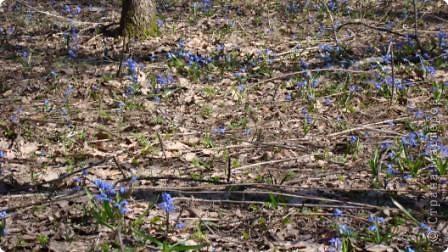 Пролески - это голубые подснежники. фото 3