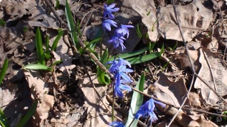Пролески - это голубые подснежники. фото 5