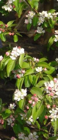 Яблоневая веточка фото 3