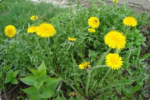 Маленькое пушистое солнышко-одуванчик! первый весенний цветочек... фото 2
