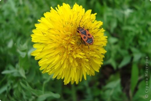 Маленькое пушистое солнышко-одуванчик! первый весенний цветочек... фото 3