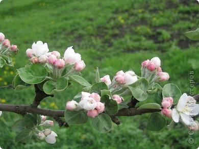 Яблони в цвету фото 3