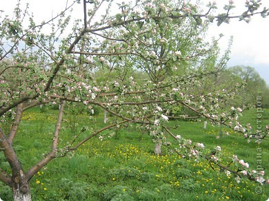 Яблони в цвету фото 5
