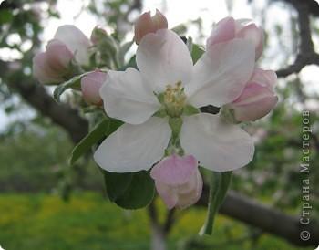 Яблони в цвету фото 4
