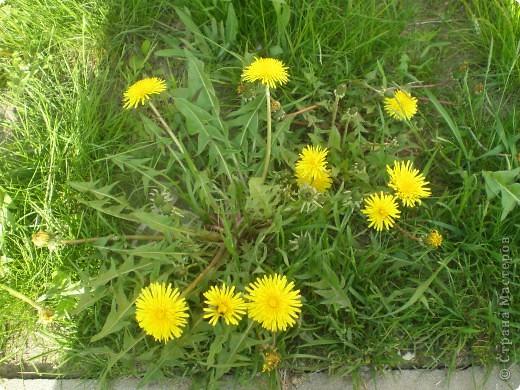 Весна. Прекрасное время года. Весной все распускается, зеленет и цветет. Гуляя на прогулке, я заметил, что одуванчики очень похожи на солнечные лучики.   фото 2