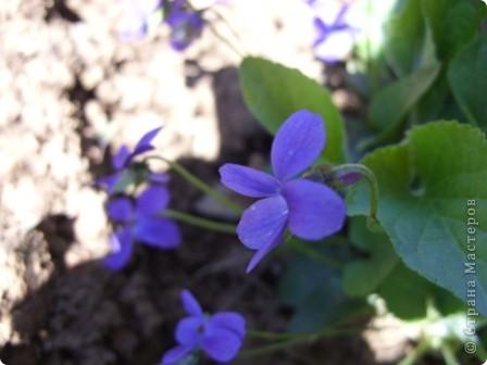 Первоцветы фото 4