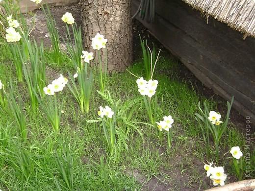 Быстро отцвели эти чудесные весенние цветы. А я могу любоваться нарциссом в любое время года, видя его на обеденном столе. фото 2