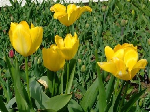 Родина большинства тюльпанов — Средняя Азия, её засушливые и горные районы: степи, песчаные и каменистые пустыни. Дикорастущие тюльпаны встречаются в природе в Восточной Европе, Иране, Турции, на юге Казахстана и севере Индии. фото 2