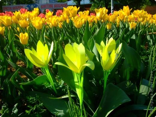 Родина большинства тюльпанов — Средняя Азия, её засушливые и горные районы: степи, песчаные и каменистые пустыни. Дикорастущие тюльпаны встречаются в природе в Восточной Европе, Иране, Турции, на юге Казахстана и севере Индии. фото 3