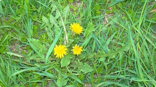 Одуванчики))Не бывает без этих цветов весны! фото 2