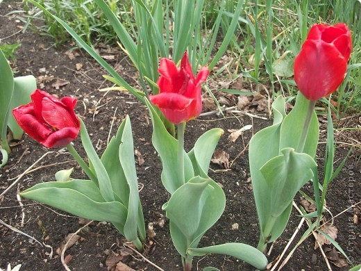 Мои тюльпанчики сделаны на одном дыхании. Увидела цветущие тюльпаны и в голове сразу родились хорошие мысли Вспомнила про органзу, а там уже все пошло как по маслу. фото 4