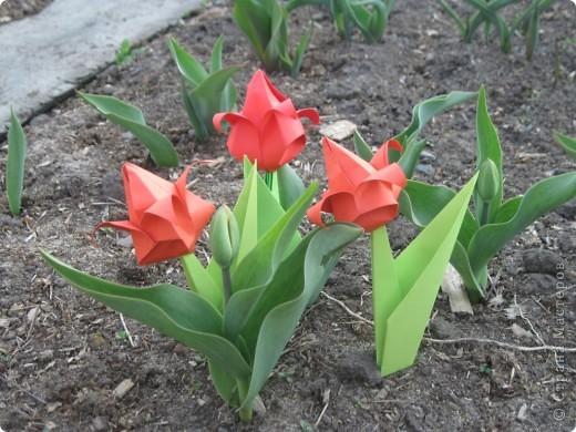 Алые тюльпаны - вестники весны. Оригами-тюльпаны на грядке. фото 1