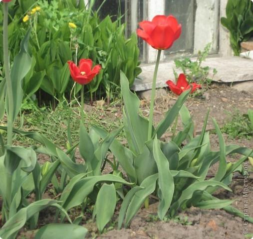 Алые тюльпаны - вестники весны. Оригами-тюльпаны на грядке. фото 2