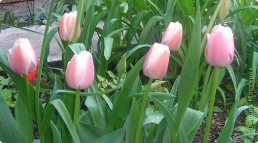 Тюльпановый рай. фото 2