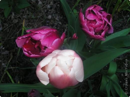Тюльпановый рай. фото 3