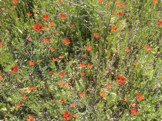 Мак- цветок с мужским именем, но нежный как сама весна!!! фото 5