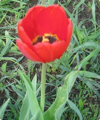 Вот такой красный тюльпанчик-красавчик получился у меня фото 2