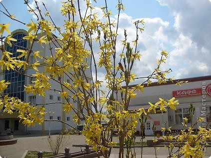 веточка форзиции у меня цветет, говорит как будто, что весна идет... веточка форзиции, солнышки твои радуют прохожих, словно огоньки....  фото 3