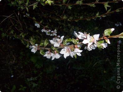 Так красиво, когда зацветает вишня. Она как будто в розовой пене стоит. У нас вишня еще только набрала цвет, весна в этом году поздняя.  фото 3